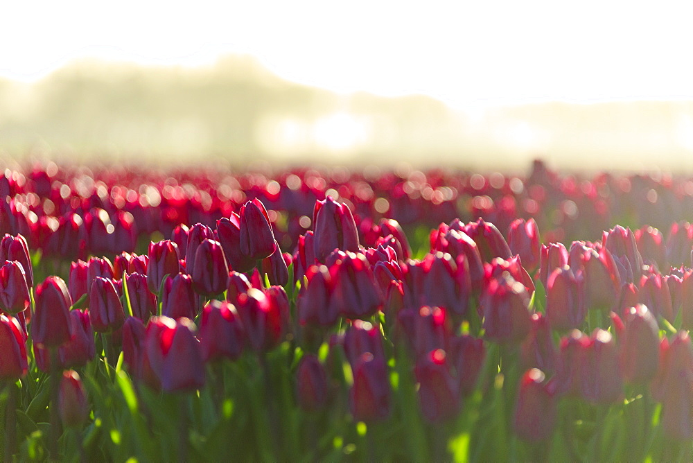 Close up of colourful tulips in bloom at sunrise, De Rijp, Alkmaar, North Holland, Netherlands, Europe