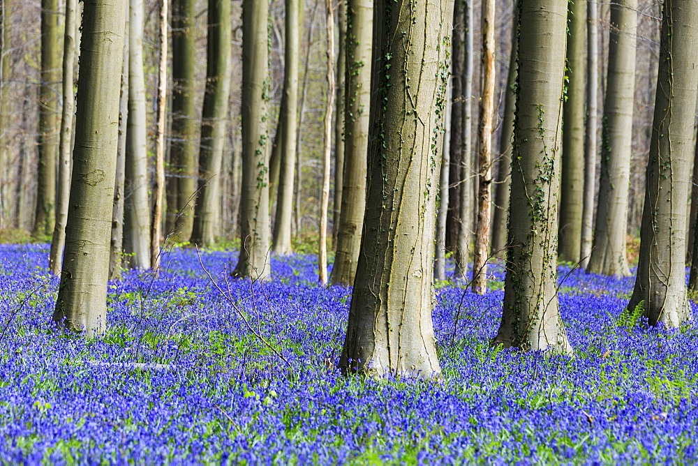Purple carpet of blooming bluebells framed by trunks of the giant Sequoia trees in the Hallerbos forest, Halle, Belgium, Europe