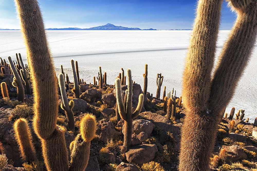 Cacti, Isla Incahuasi, a unique outcrop in the middle of the Salar de Uyuni, Oruro, Bolivia, South America