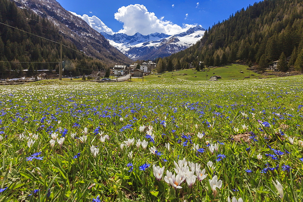 Colorful flowers on green meadows framed by the alpine village of Chiareggio, Malenco Valley, Valtellina, Lombardy, Italy, Europe - 1179-2227