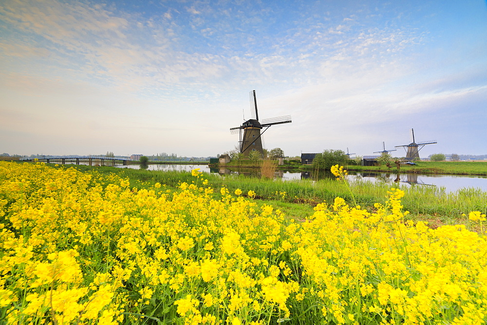 Windmills framed by yellow flowers and typical canal at dawn, Kinderdijk, UNESCO World Heritage Site, Molenwaard, South Holland, The Netherlands, Europe