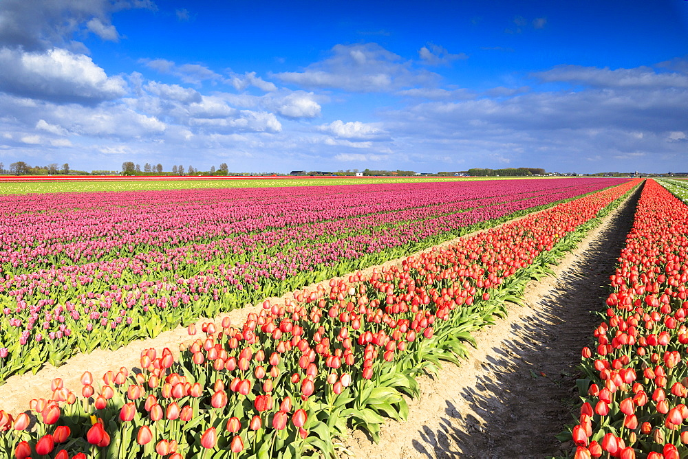 Multicolored tulips in the fields of Oude-Tonge during spring bloom, Oude-Tonge, Goeree-Overflakkee, South Holland, The Netherlands, Europe - 1179-2248