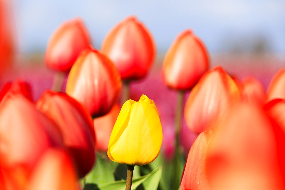 Close up of yellow tulip framed by a multitude of red tulips, Oude-Tonge, Goeree-Overflakkee, South Holland, The Netherlands, Europe