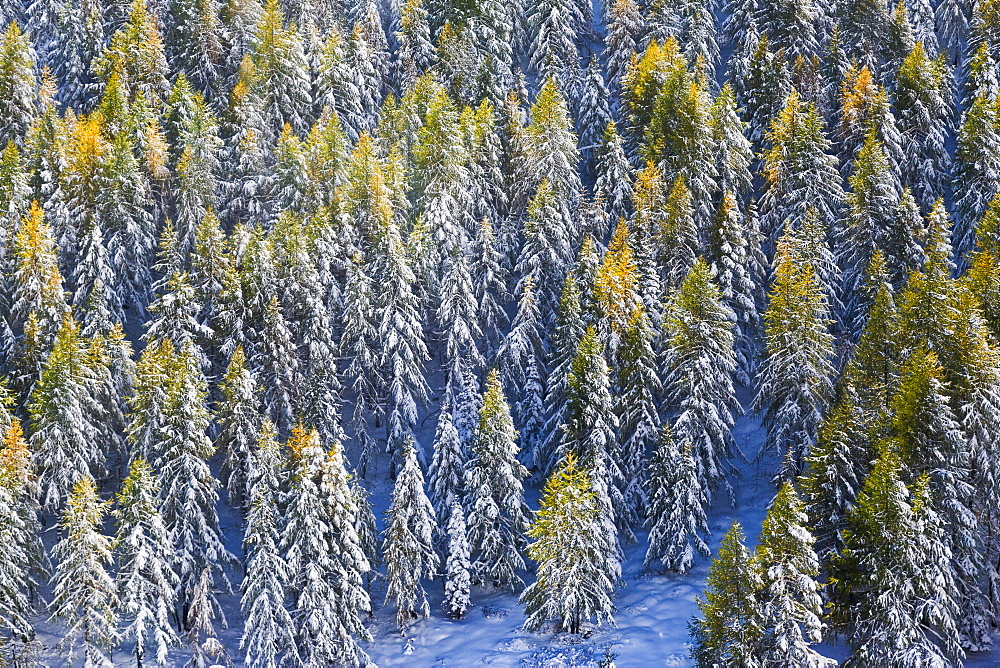 Aerial view of larches in the woods covered with snow during the fall season, Chiavenna Valley, Valtellina, Lombardy, Italy, Europe - 1179-2265