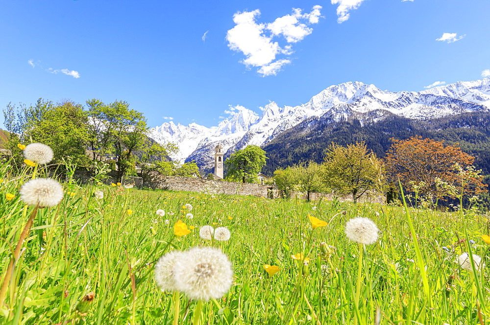 Old church framed by dandelions and snowy peaks, Soglio, Maloja, Bregaglia Valley, Engadine, canton of Graubunden, Switzerland, Europe
