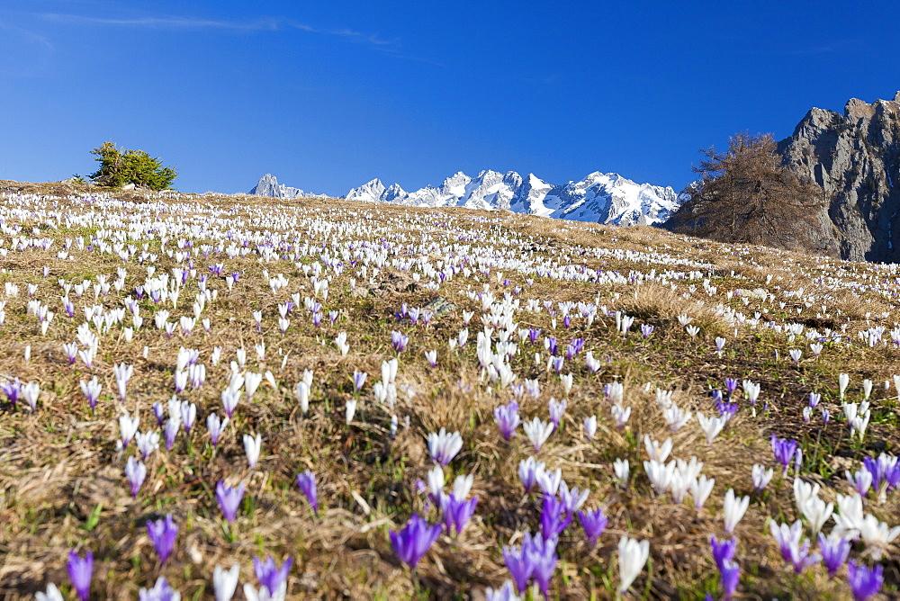 Colorful crocus in meadows framed by snowy peaks, Alpe Granda, Sondrio province, Masino Valley, Valtellina, Lombardy, Italy, Europe - 1179-2282