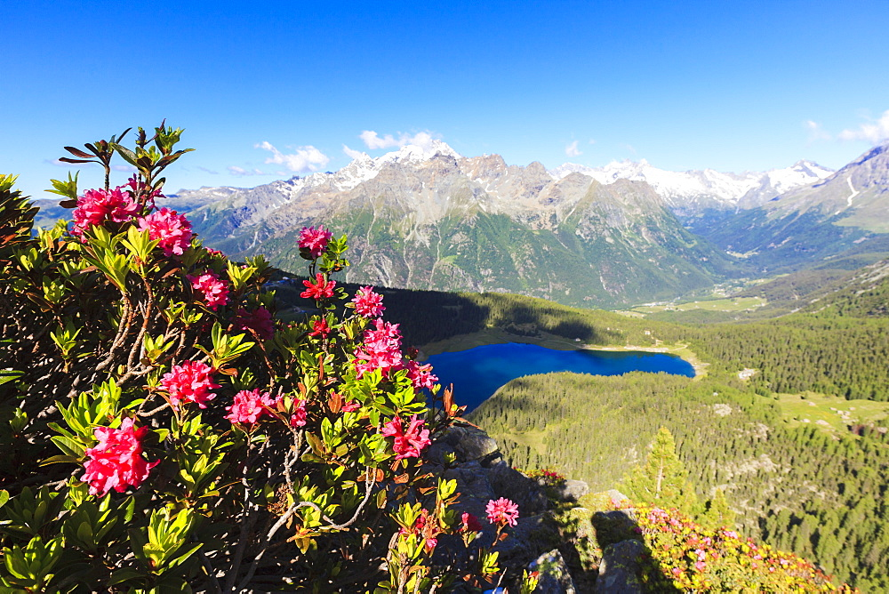 Rhododendrons and Lake Palu framed by Mount Disgrazia seen from Monte Roggione, Malenco Valley, Valtellina, Lombardy, Italy, Europe - 1179-2283