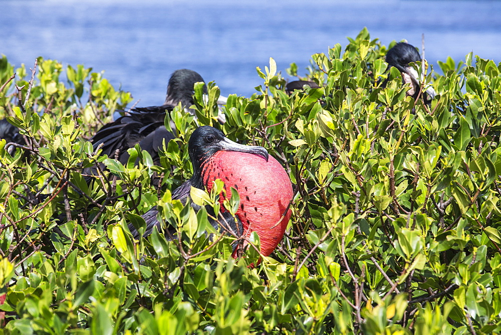 The male frigate with red throat pouch, which it inflates as part of its courtship behaviour, Barbuda, Antigua and Barbuda, Leeward Islands, West Indies, Caribbean, Central America