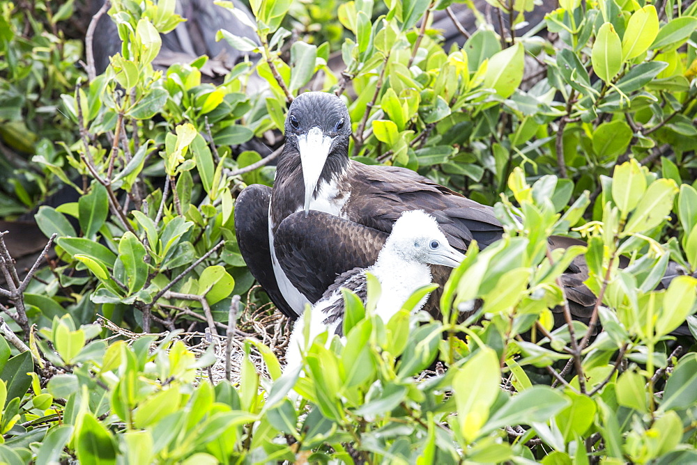 Mother and chick frigate bird resting on mangrove away from the dangers of the sky, Frigate Bird Sanctuary, Barbuda, Antigua and Barbuda, Leeward Islands, West Indies, Caribbean, Central America