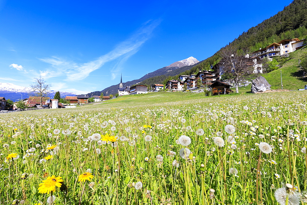Dandelion in bloom, Alvaneu, District of Albula, Canton of Graubunden, Switzerland, Europe