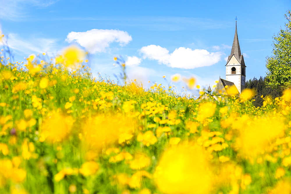 Blooming of yellow flowers around the alpine church of Schmitten, District of Albula, Canton of Graubunden, Switzerland, Europe