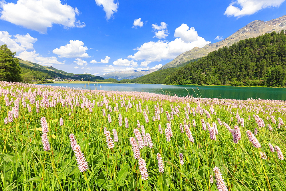 Spring bloom of Persicaria bistorta at Lej da Champfer, St. Moritz, Upper Engadine, Canton of Graubunden, Switzerland, Europe - 1179-2405