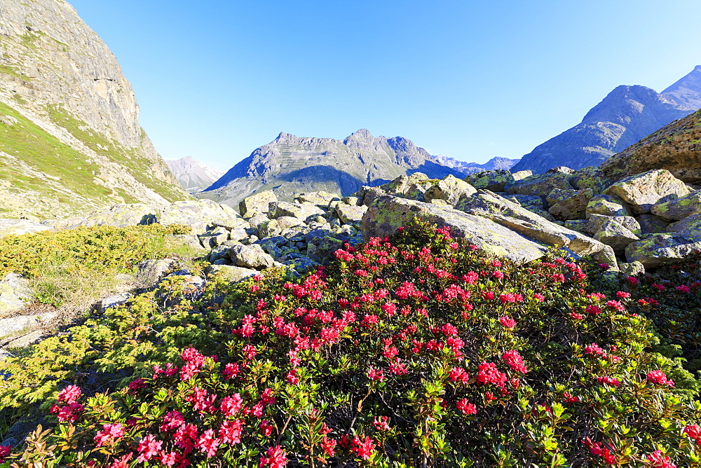 Rhododendrons during the spring bloom at Julier Pass, St. Moritz, Engadine, Canton of Graubunden, Switzerland, Europe