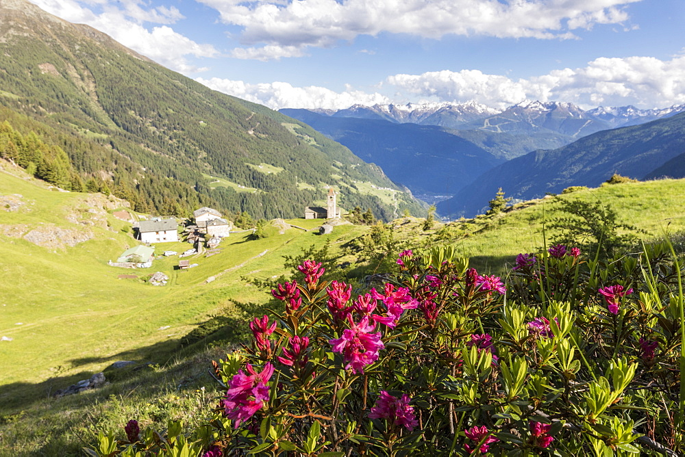 Rhododendrons and alpine village, San Romerio Alp, Brusio, Canton of Graubunden, Poschiavo Valley, Switzerland, Europe