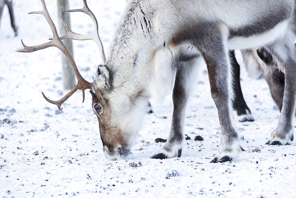 Close up of a reindeer, Abisko, Kiruna Municipality, Norrbotten County, Lapland, Sweden, Scandinavia, Europe - 1179-2486