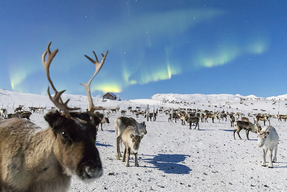 Close up of a reindeer under the Northern Lights (Aurora Borealis), Abisko, Kiruna Municipality, Norrbotten County, Lapland, Sweden, Scandinavia, Europe