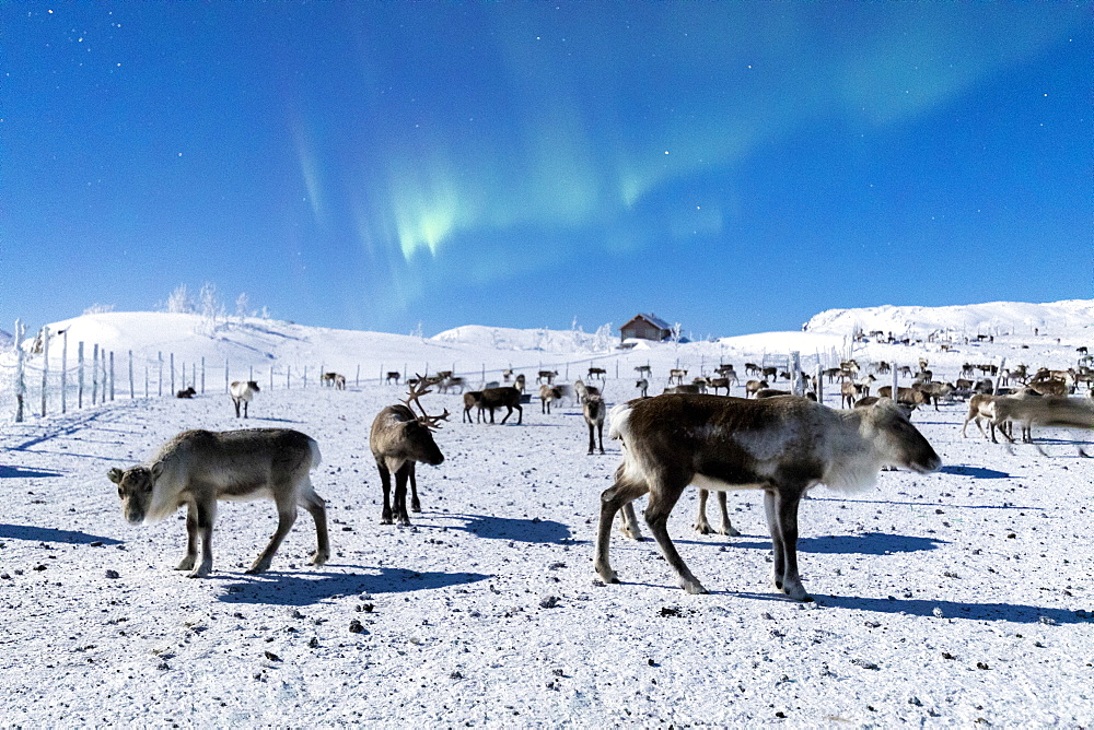 Flock of reindeer under Northern Lights (Aurora Borealis), Abisko, Kiruna Municipality, Norrbotten County, Lapland, Sweden, Scandinavia, Europe - 1179-2488