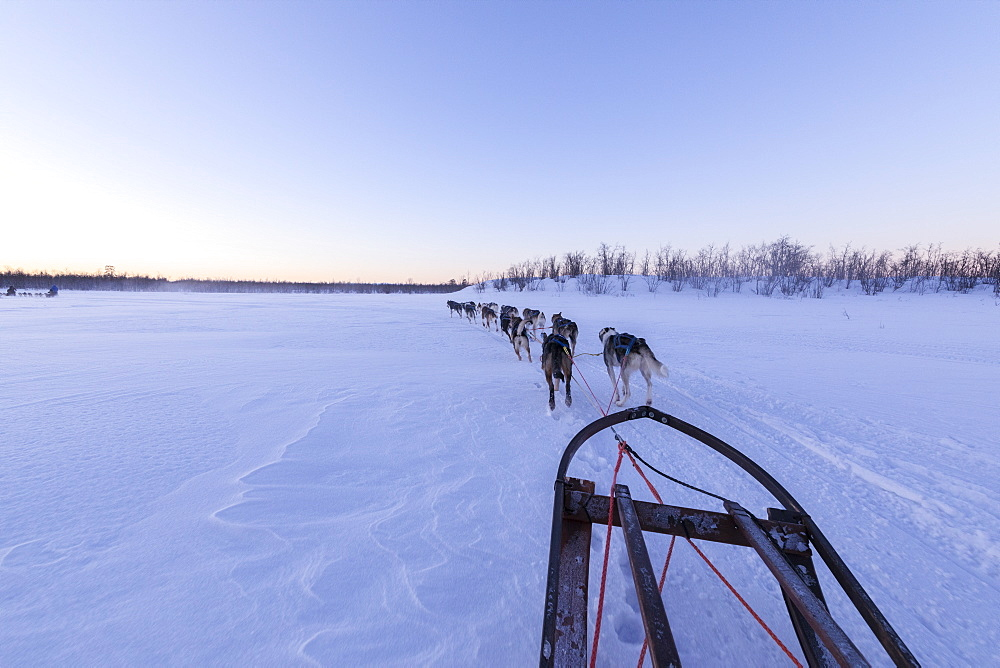 Dogs pulling the sled, Kiruna, Norrbotten County, Lapland, Sweden, Scandinavia, Europe