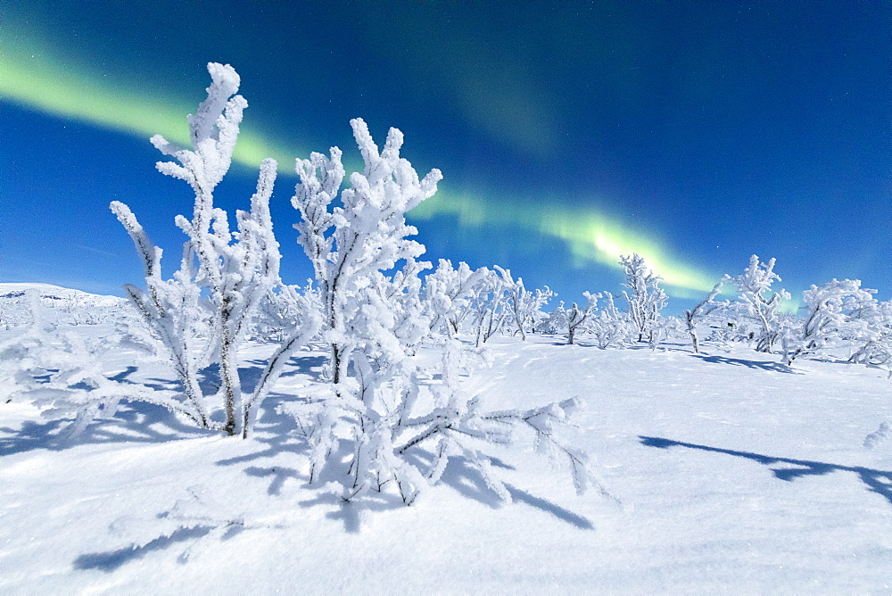 Frozen trees covered with snow under the Northern Lights (Aurora Borealis), Abisko, Kiruna Municipality, Norrbotten County, Lapland, Sweden, Scandinavia, Europe