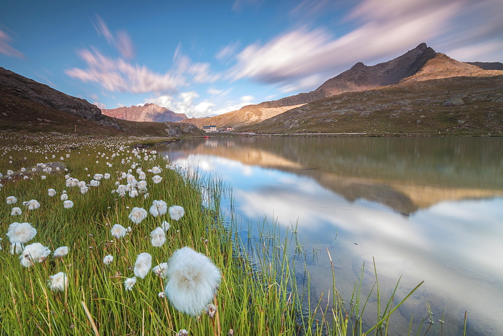 Cotton grass on the shore of Lago Bianco, Gavia Pass, Valfurva, Valtellina, Lombardy, Italy, Europe