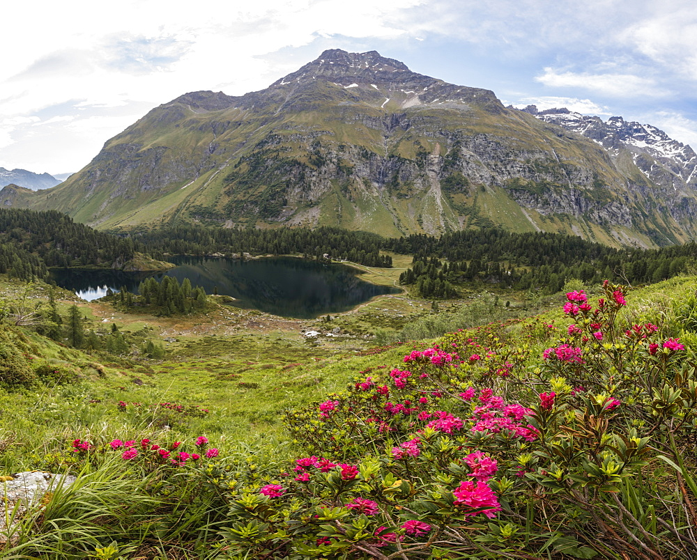 Panoramic of rhododendrons and Lake Cavloc, Maloja Pass, Bregaglia Valley, Engadine, Canton of Graubunden, Switzerland, Europe