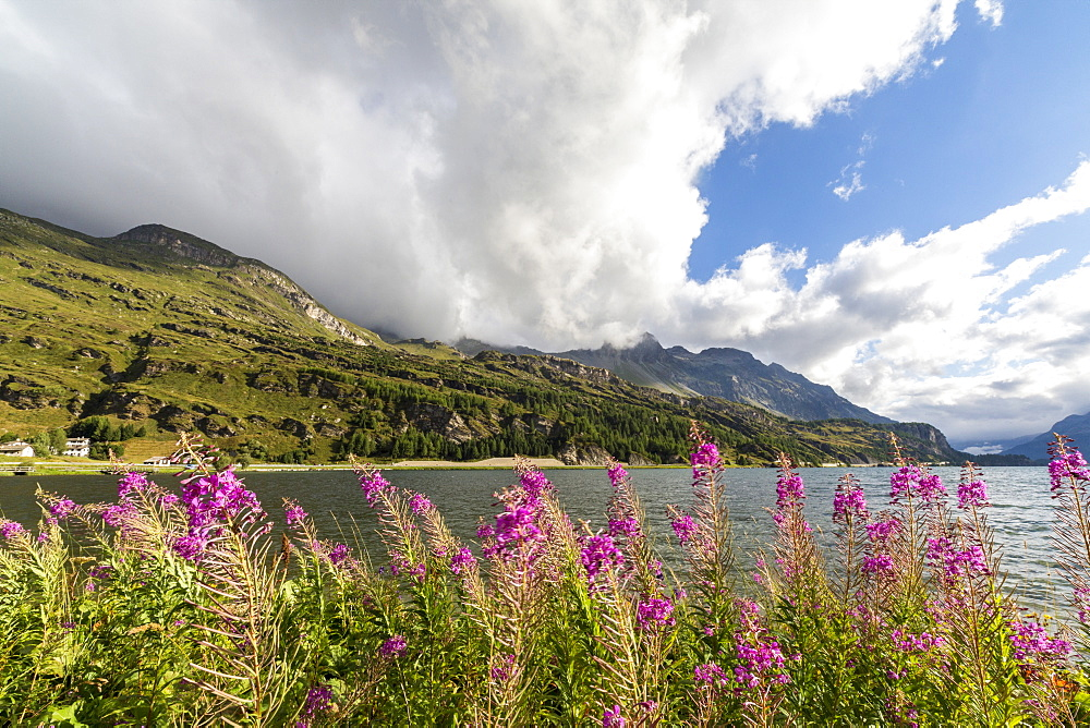 Epilobium wildflowers on lakeshore, Maloja Pass, Bregaglia Valley, Engadine, Canton of Graubunden (Grisons), Switzerland, Europe