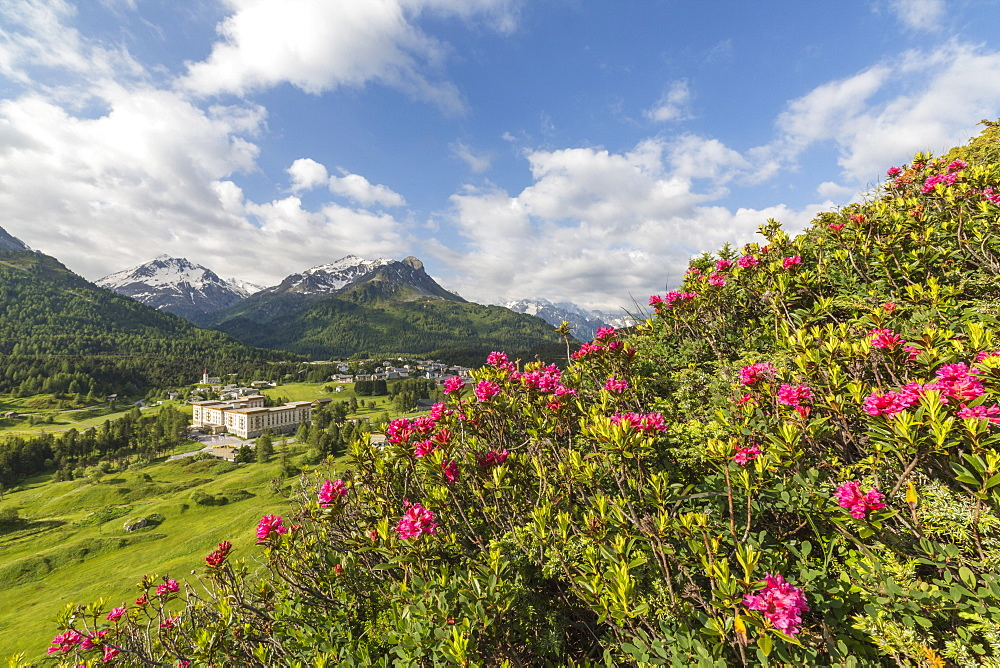 Rhododendrons in bloom, Maloja, Bregaglia Valley, Engadine, Canton of Graubunden (Grisons), Switzerland, Europe