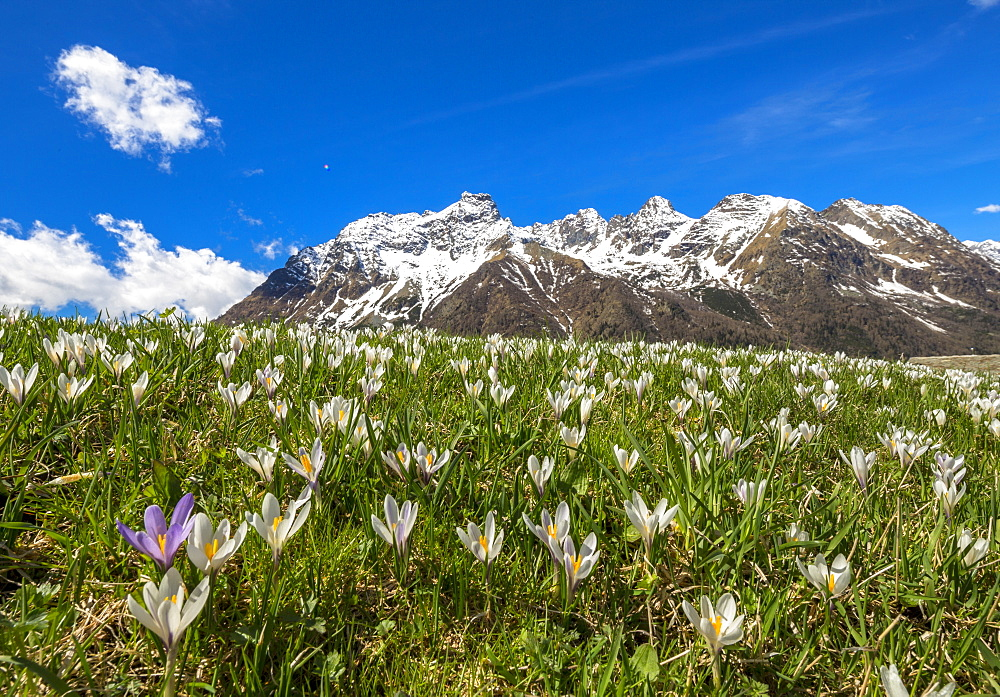 Close-up of crocus in bloom, Alpe Braccia, Malenco Valley, province of Sondrio, Valtellina, Lombardy, Italy, Europe