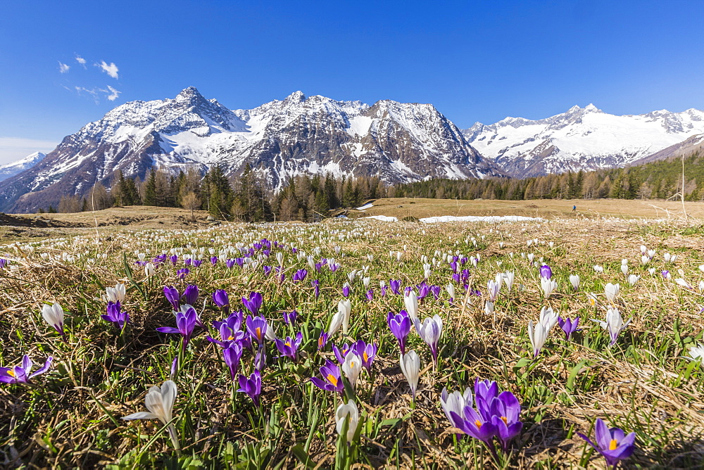Crocus during spring blooming, Entova Alp, Malenco Valley, province of Sondrio, Valtellina, Lombardy, Italy, Europe