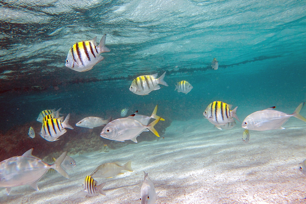 Multicolored fish swim peacefully at Stingray City, a sanctuary where it is possible to see rare species as stingrays, Antigua, Leeward Islands, West Indies, Caribbean, Central America