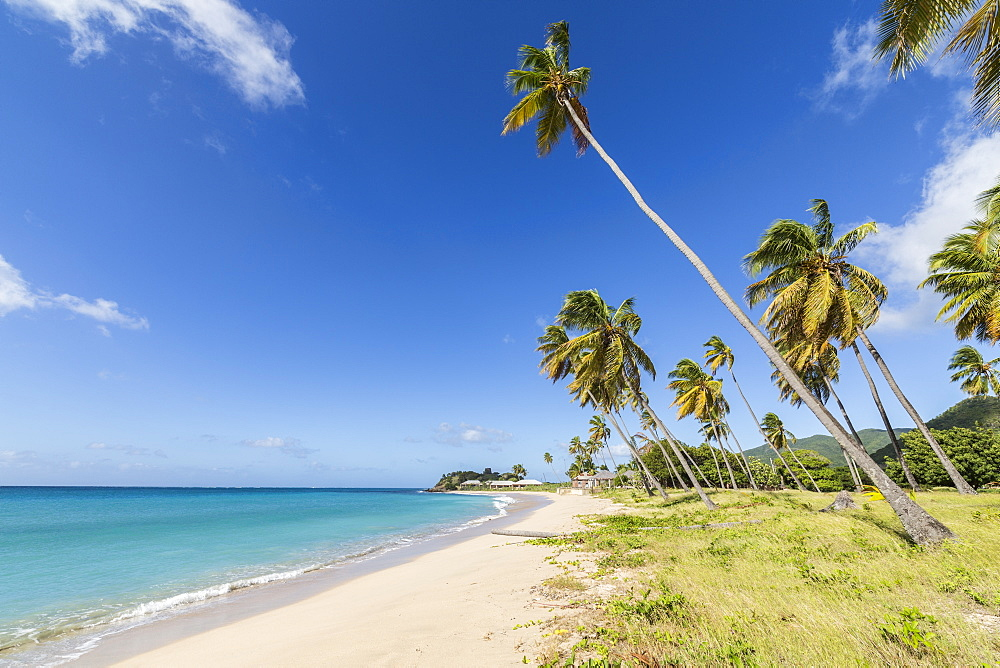 Towering coconut palms stretching towards the Caribbean Sea near Carlisle Bay. Antigua, Leeward Islands, West Indies, Caribbean, Central America