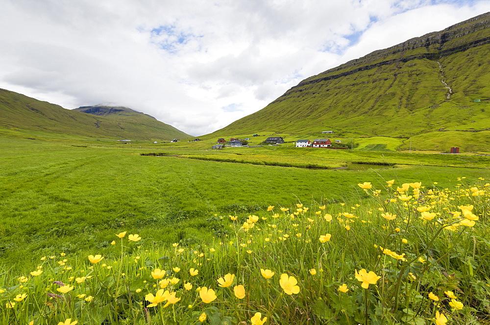 Wild flowers on green hills of Kollafjorour, Torshavn Municipality, Streymoy Island, Faroe Islands, Denmark, Europe