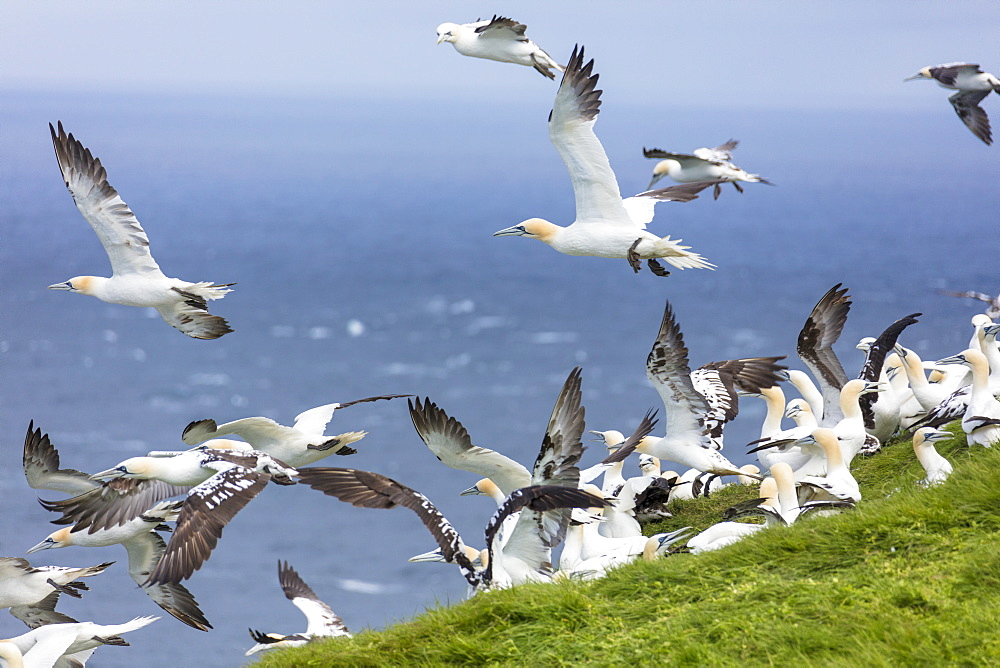 Gannet seabirds, Mykines Island, Faroe Islands, Denmark, Europe