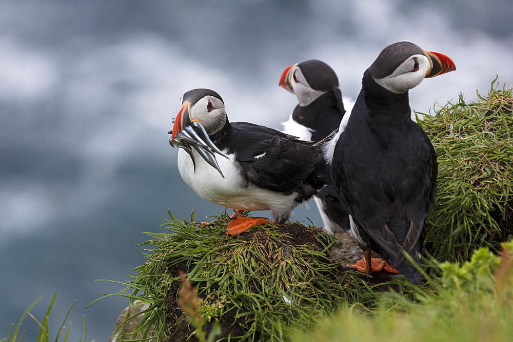 Atlantic puffins with catch in the beak, Mykines Island, Faroe Islands, Denmark, Europe