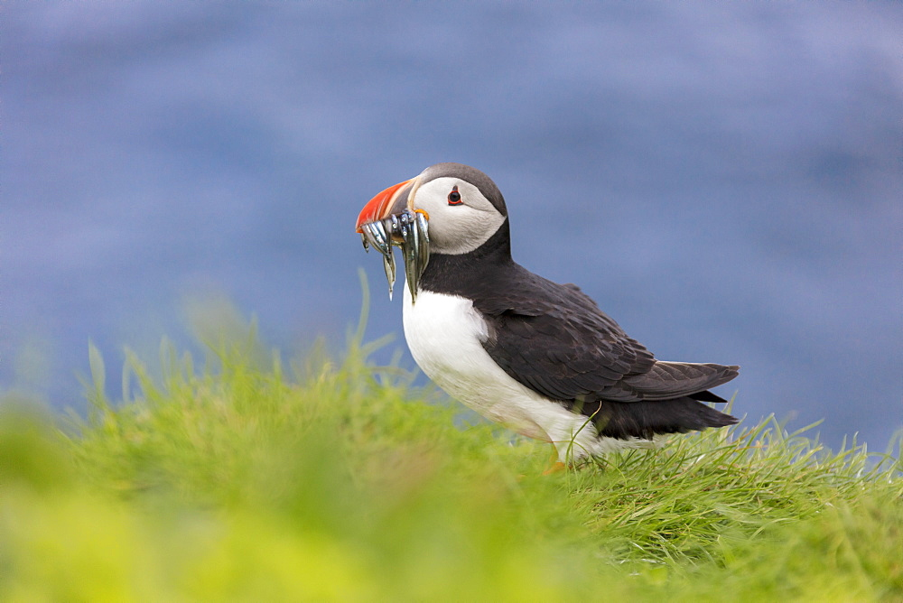 Atlantic puffin with catch in the beak, Mykines Island, Faroe Islands, Denmark, Europe