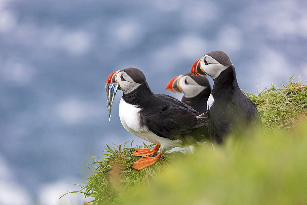 Atlantic puffins with fish in the beak, Mykines Island, Faroe Islands, Denmark, Europe