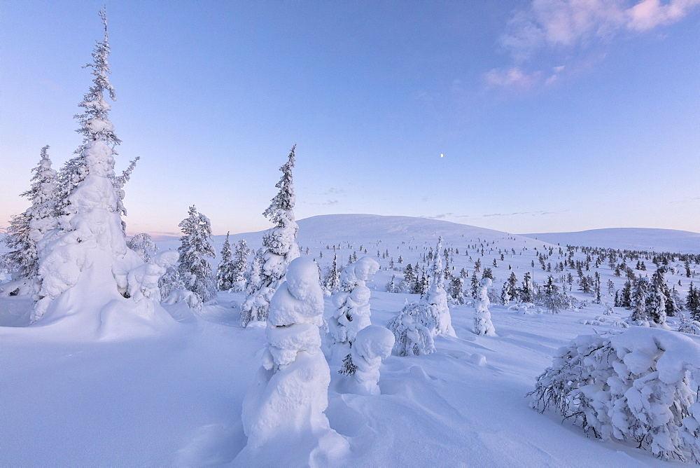 Frozen dwarf shrub and trees, Pallas-Yllastunturi National Park, Muonio, Lapland, Finland, Europe