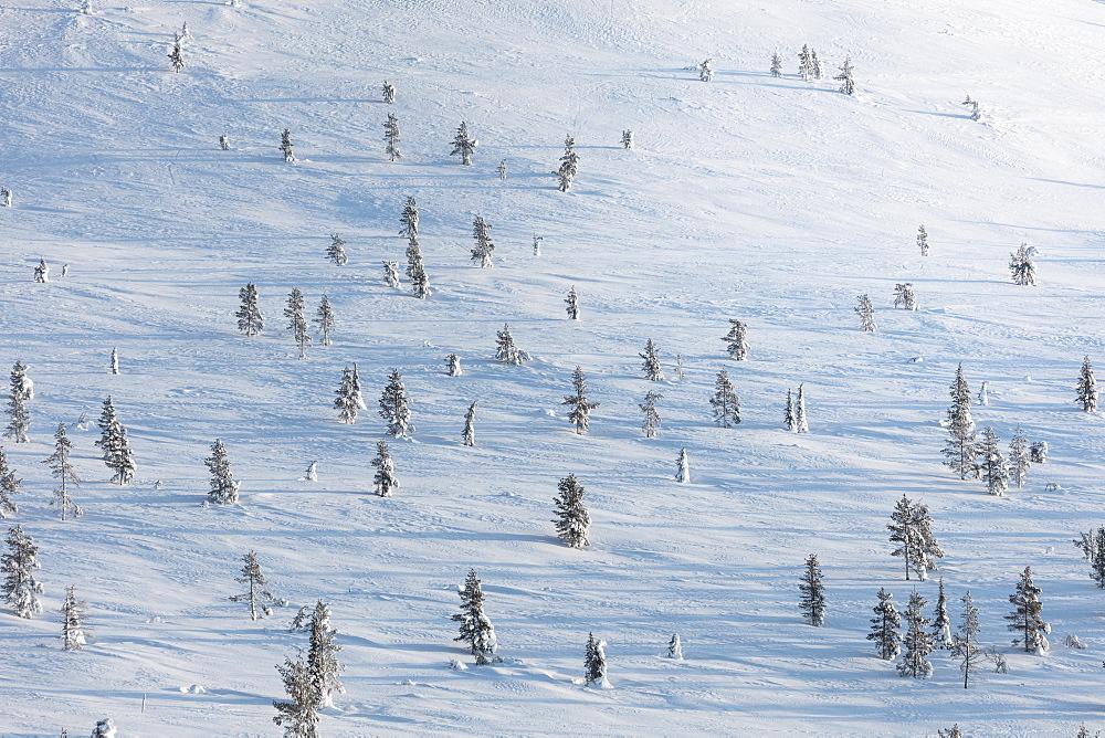 Trees in the snow, Pallas-Yllastunturi National Park, Muonio, Lapland, Finland