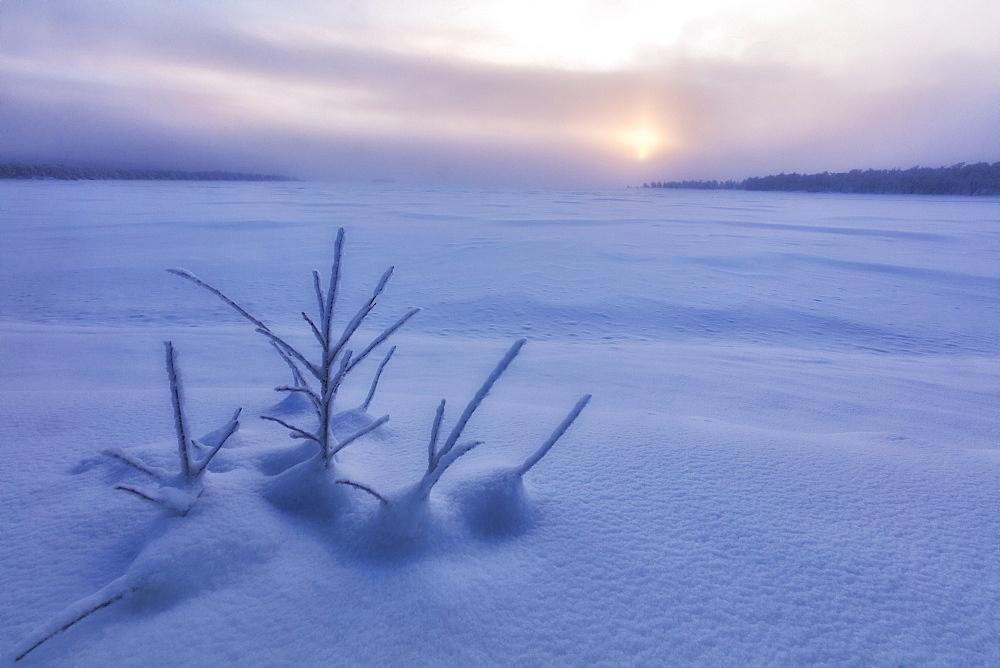 Lone shrub in the snow, Muonio, Lapland, Finland, Europe