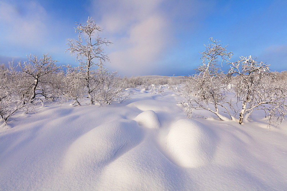 Trees covered with snow, Muonio, Lapland, Finland, Europe