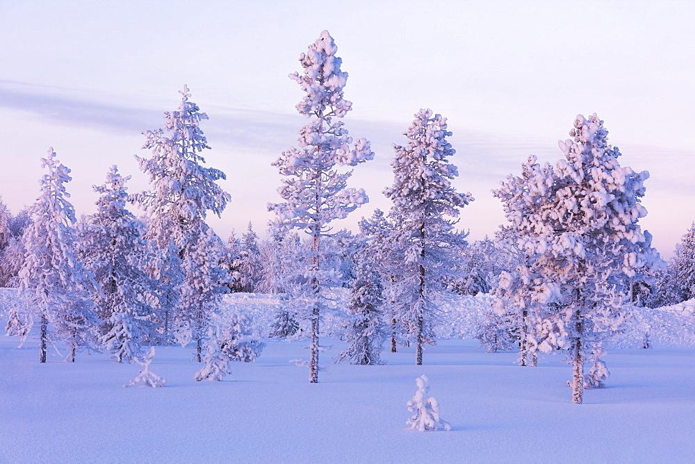 Frozen trees in the snowy woods, Luosto, Sodankyla municipality, Lapland, Finland, Europe