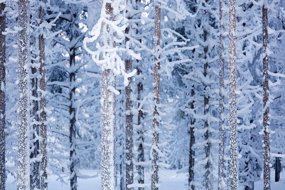 Frozen tree trunks in the forest, Sodankyla, Lapland, Finland, Europe