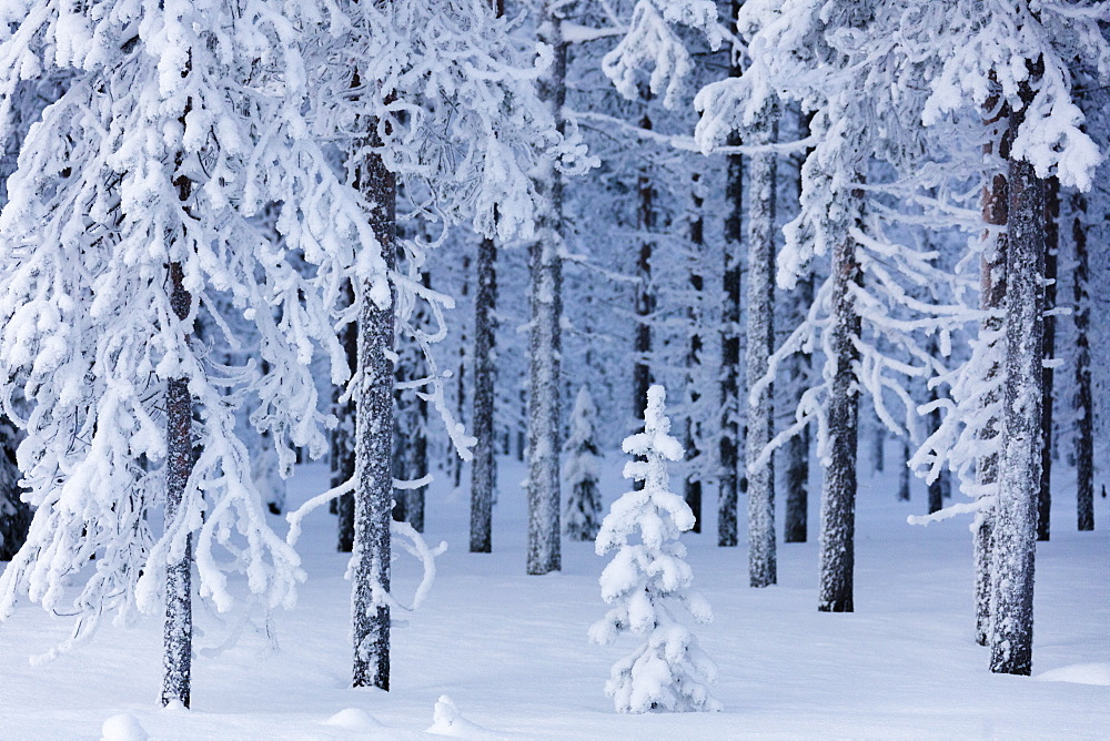 Frozen trees in the snow capped forest, Sodankyla, Lapland, Finland, Europe