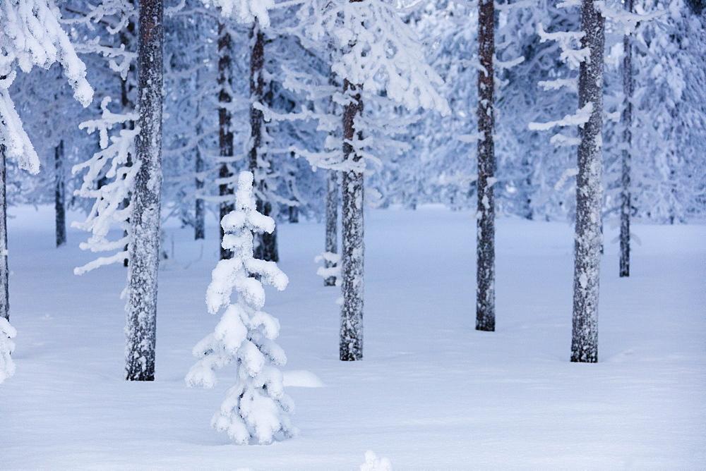 Frozen dwarf shrub, Sodankyla, Lapland, Finland, Europe