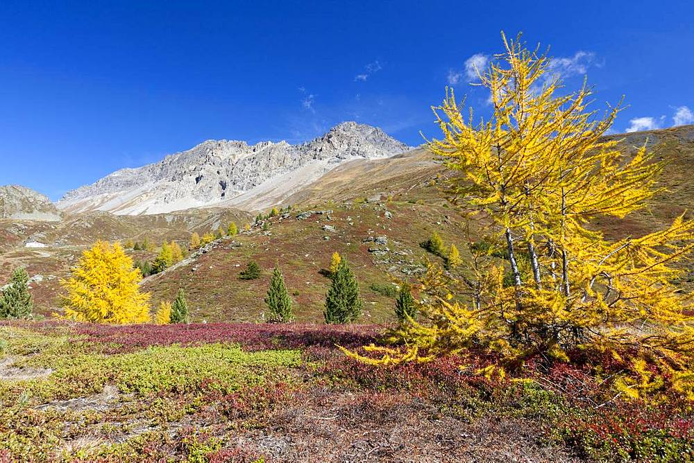 Yellow larches during autumn, Val Vezzola, Valdidentro, Valtellina, Sondrio province, Lombardy, Italy, Europe