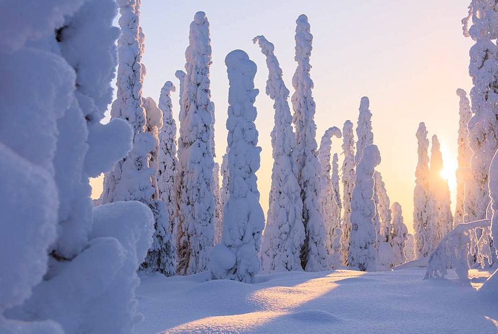 Frozen spruce and pine trees, Riisitunturi National Park, Posio, Lapland, Finland