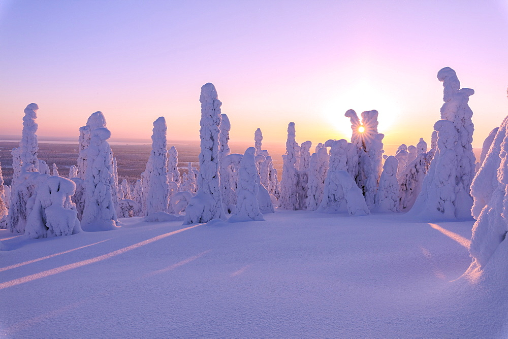 Pink sunrise on frozen trees, Riisitunturi National Park, Posio, Lapland, Finland