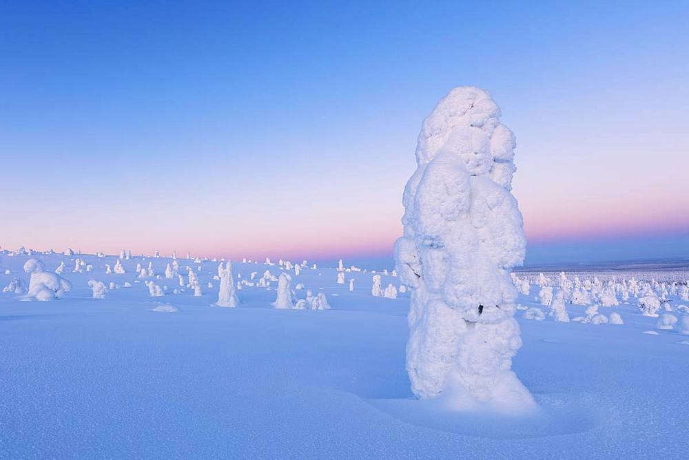 Lone frozen tree in the snowy woods, Riisitunturi National Park, Posio, Lapland, Finland