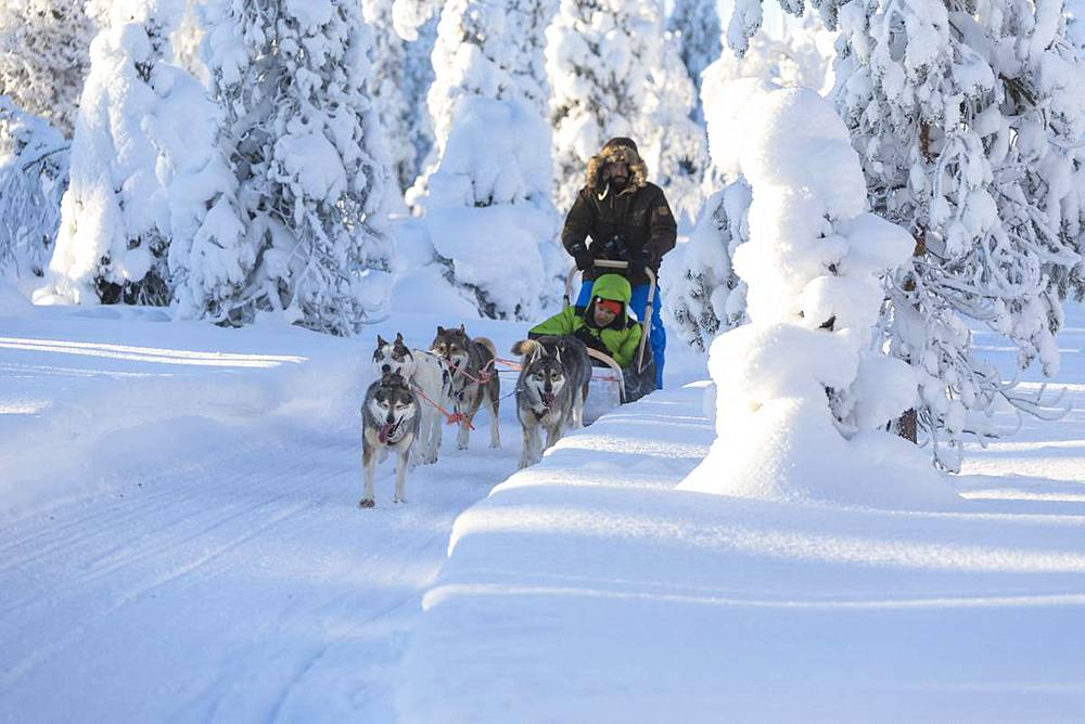 Dog sledding in the snowy woods, Kuusamo, Northern Ostrobothnia region, Lapland, Finland, Europe