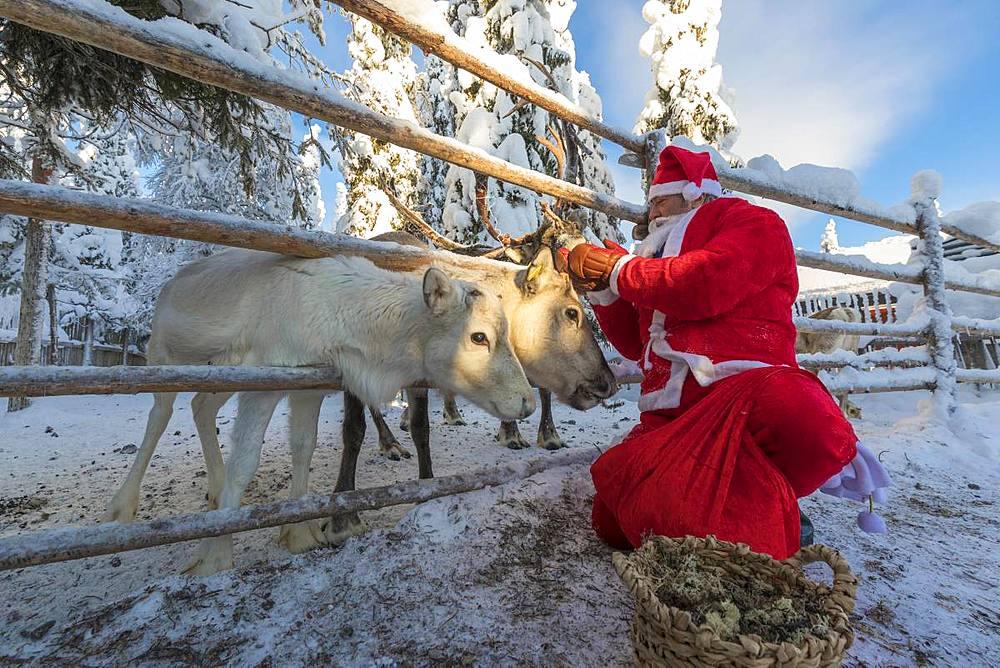 Santa Claus feeding reindeer, Ruka (Kuusamo), Northern Ostrobothnia region, Lapland, Finland, Europe